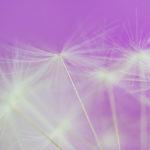 Juunikuus pildistan rohkem – võilill – ILIL fotosõbrad