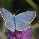 Harilik taevastiib, Polyommatus amandus