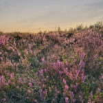 Jussi nõmm – augustikuine lilla unistus