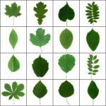 14 Eesti lehtpuud